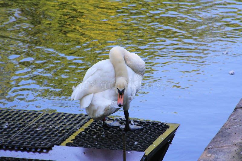 Cisne branca que enfeita-se suas penas fotos de stock royalty free