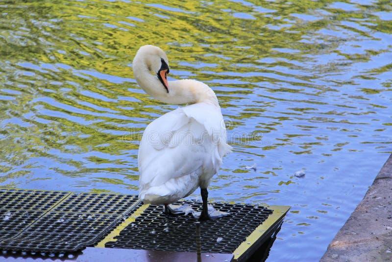 Cisne branca que enfeita-se suas penas fotografia de stock