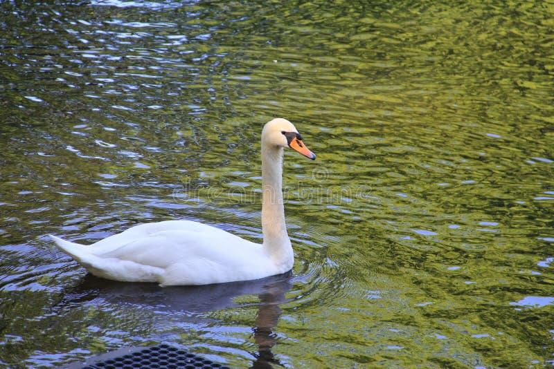 Cisne branca que flutua na água imagens de stock royalty free