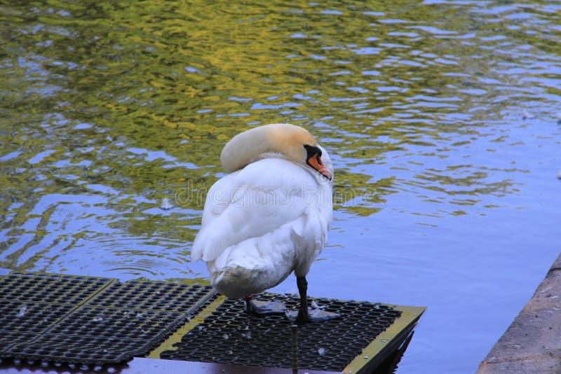Cisne branca que olha para trás imagem de stock royalty free