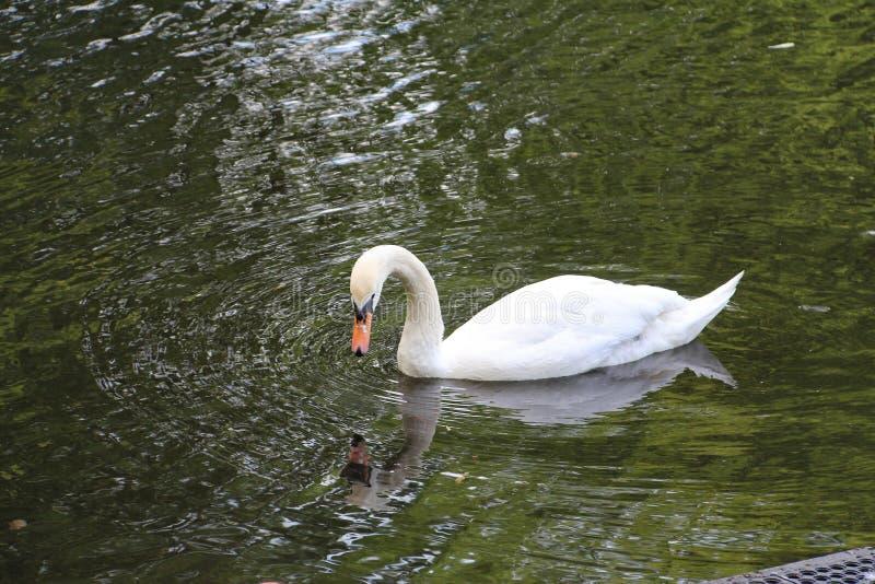 Cisne branca só na água imagens de stock royalty free