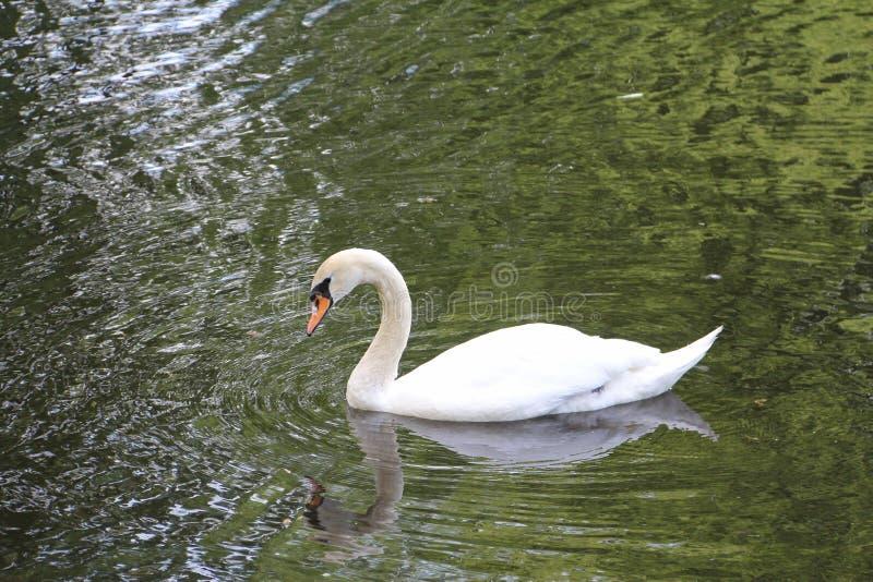 Cisne branca só na água imagem de stock royalty free