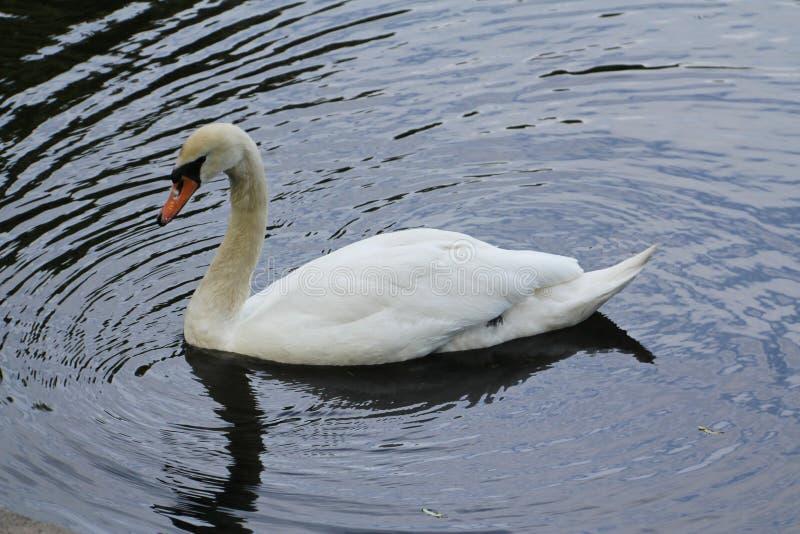 Cisne branca só na água foto de stock royalty free