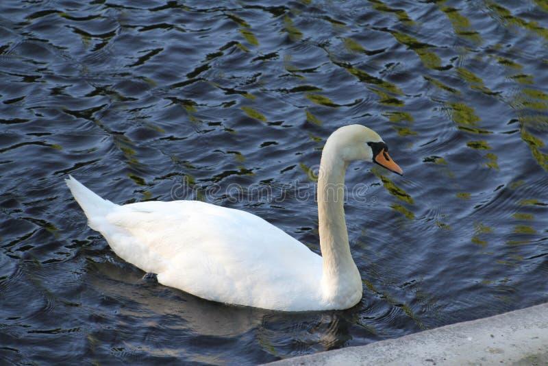 Cisne branca só na água fotografia de stock royalty free