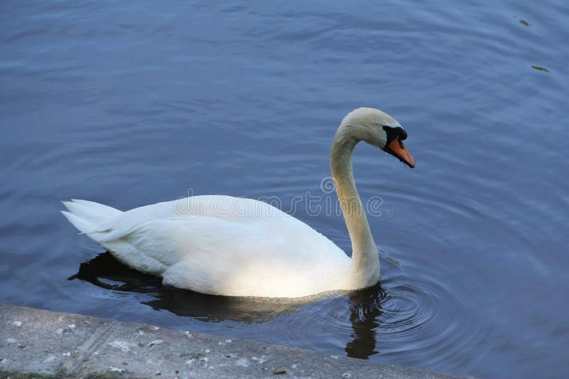 Cisne branca só na água foto de stock