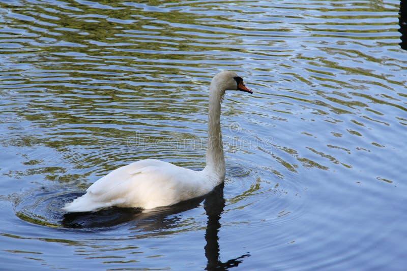 Cisne branca só que flutua na água imagens de stock
