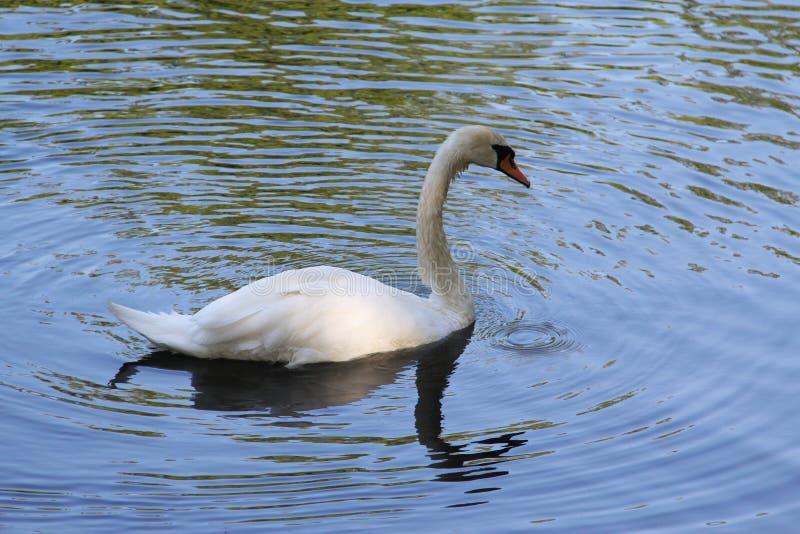 Cisne branca só que flutua na água foto de stock royalty free