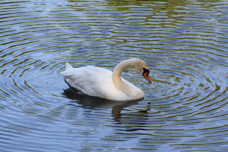 Cisne branca só que flutua na água fotos de stock royalty free