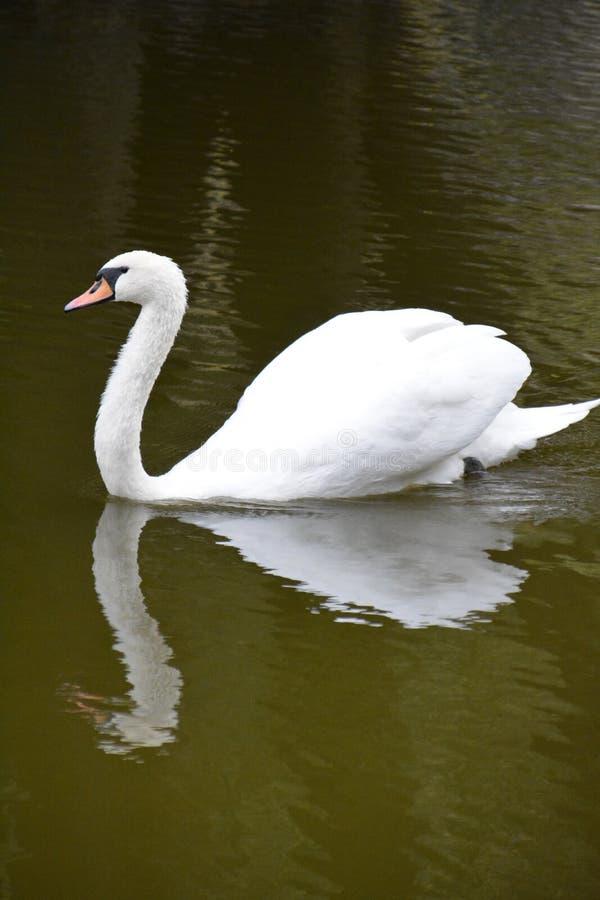Cisne Branco No Lago Na Floresta Da Primavera foto de stock royalty free