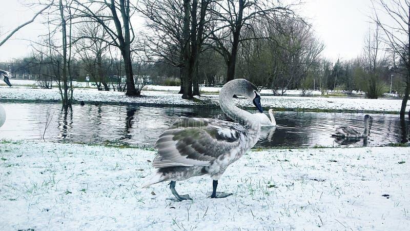 A cisne cinzenta anda ao longo da costa do reservatório fotografia de stock royalty free