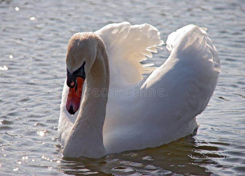 Cisne com as asas levantadas fotos de stock