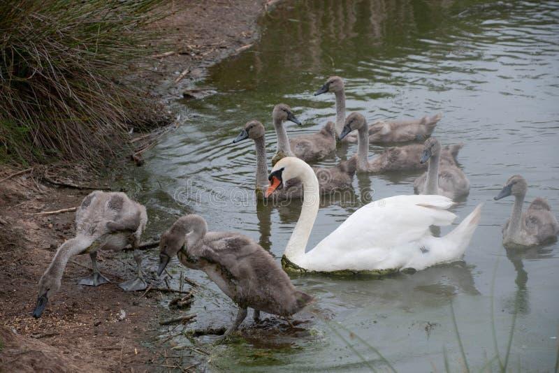 Cisne com cygnets imagens de stock