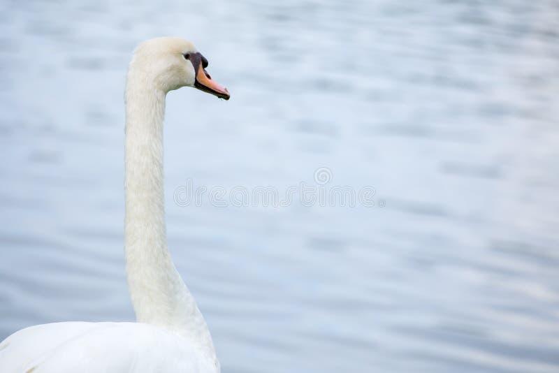 Cisne com lago imagens de stock royalty free