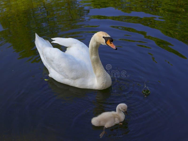 Cisne com um flutuador do pássaro de bebê em uma lagoa foto de stock