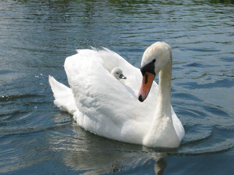 Cisne con el bebé imagenes de archivo