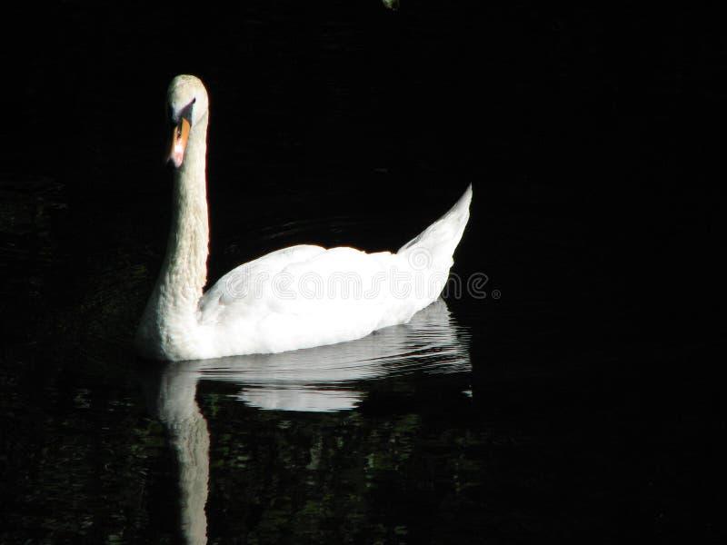 Cisne con el fondo negro imagenes de archivo