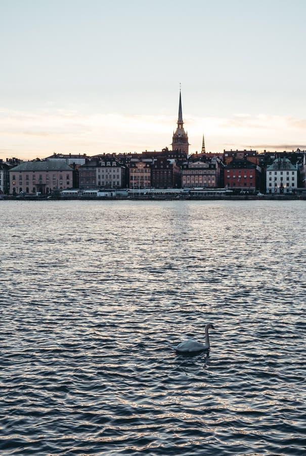 Cisne con la ciudad vieja de Estocolmo en el fondo en la puesta del sol, Suecia imagenes de archivo