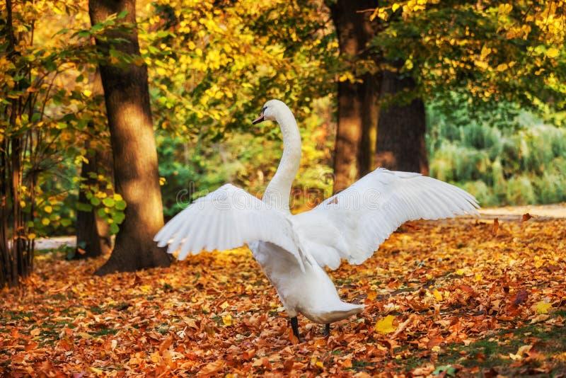Cisne con las alas abiertas en Autumn Park imagen de archivo libre de regalías