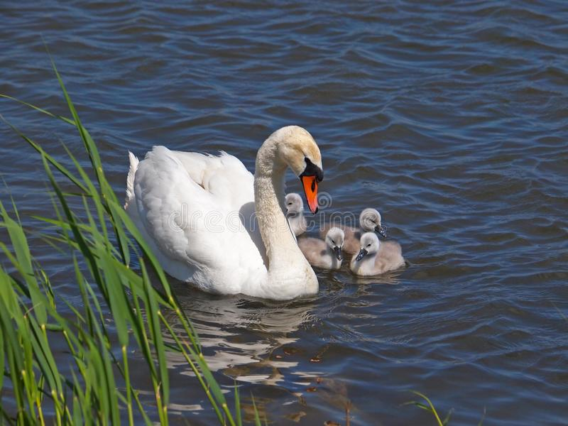 Cisne con los polluelos en el agua fotos de archivo libres de regalías