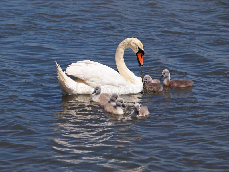 Cisne con los polluelos en el agua fotos de archivo