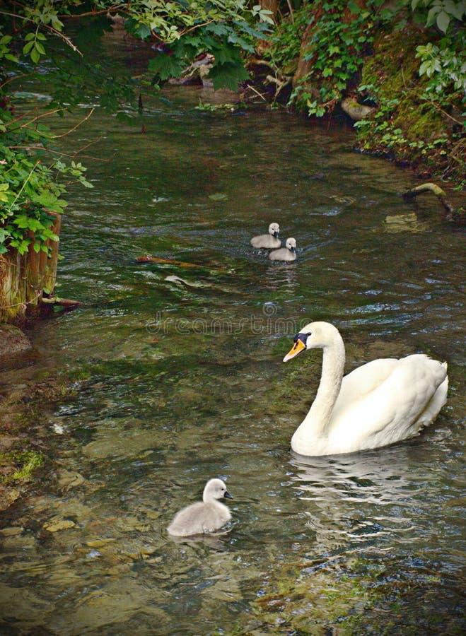 Cisne da mãe imagem de stock royalty free