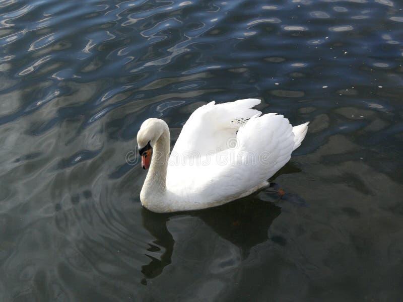 Cisne dada forma coração que flutua no rio fotografia de stock