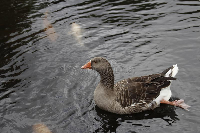 Cisne de Brown fotos de archivo