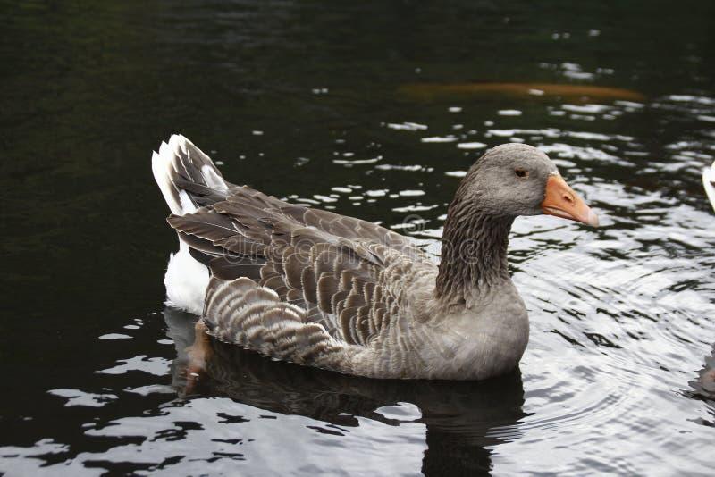 Cisne de Brown foto de archivo