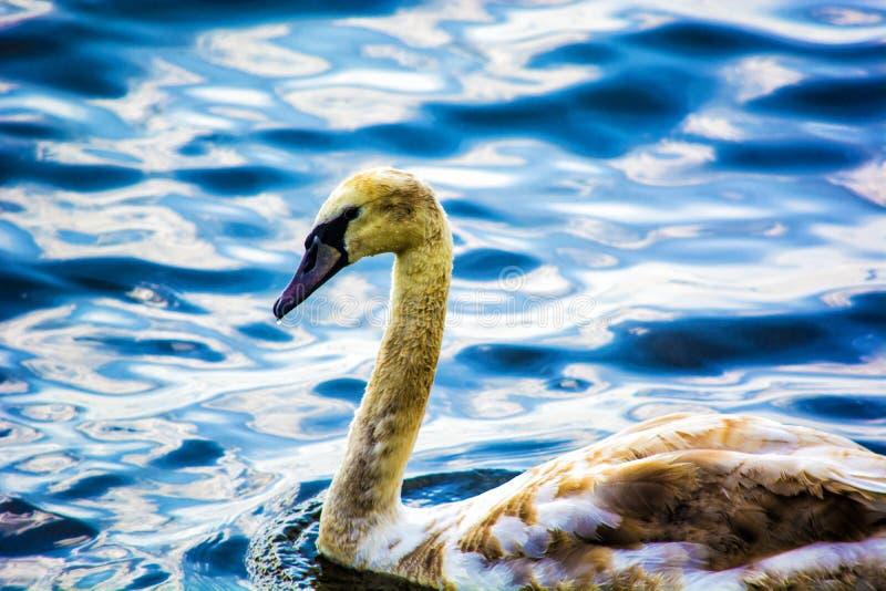 Cisne de Brown en el agua imágenes de archivo libres de regalías
