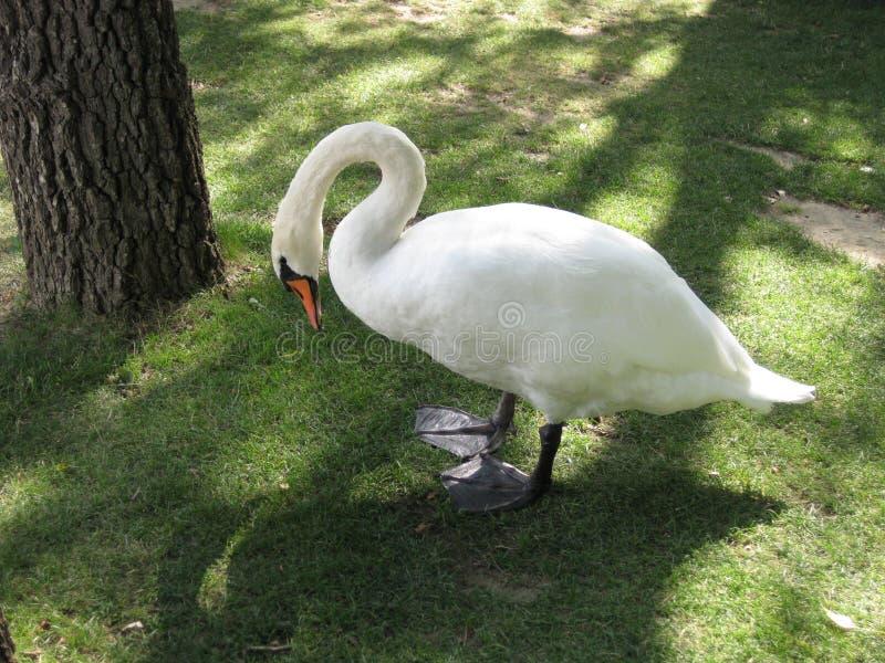 Cisne de cuello largo en el parque zoológico foto de archivo libre de regalías