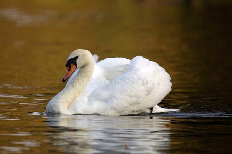 Cisne de la tarde fotos de archivo