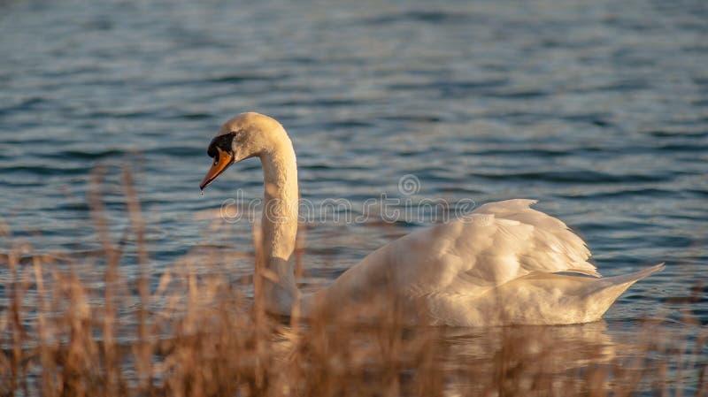 Cisne de oro de la hora imagen de archivo