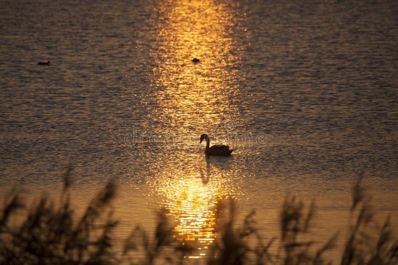 Cisne de oro de la puesta del sol foto de archivo