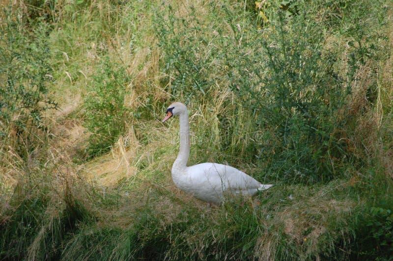 Cisne de Swansea imágenes de archivo libres de regalías