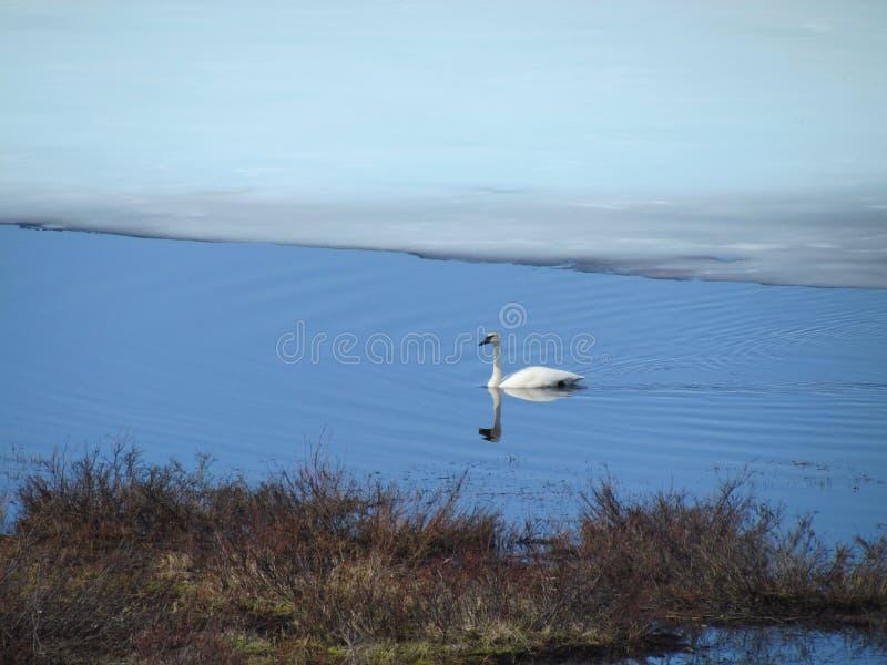 Cisne de trompetista imagenes de archivo