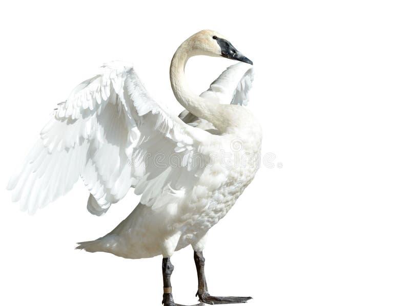 Cisne de trompetista imagen de archivo libre de regalías