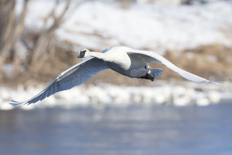 Cisne de trompetista en vuelo fotografía de archivo libre de regalías
