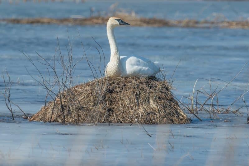 Cisne de trompetista que se sienta en una isla en un humedal temprano frío de la primavera en el área de la fauna de los prados d fotos de archivo libres de regalías