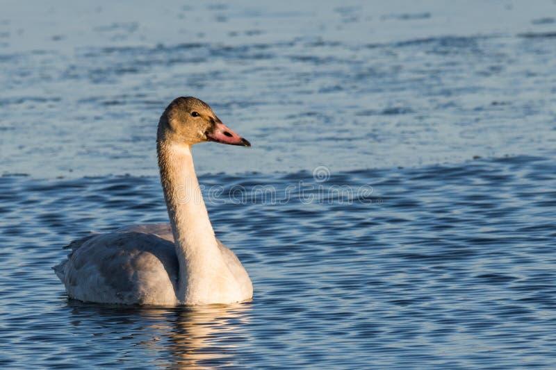 Cisne de tundra juvenil imagen de archivo