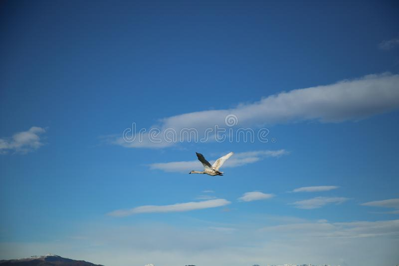 Cisne de voo no c?u foto de stock