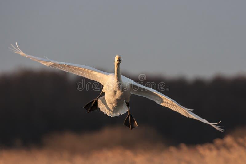 Cisne de Whooper imagem de stock royalty free