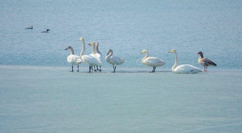Cisne de Whooper fotos de archivo