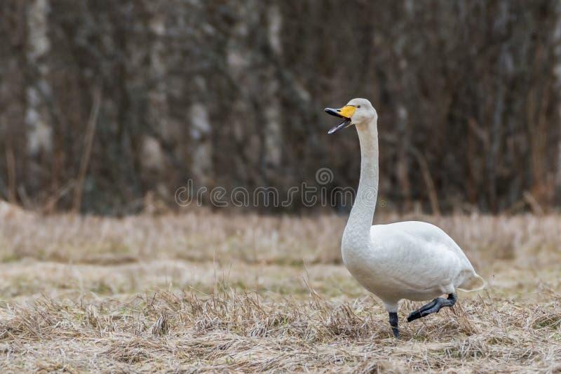 Cisne de Whooper (cygnus do Cygnus) imagem de stock