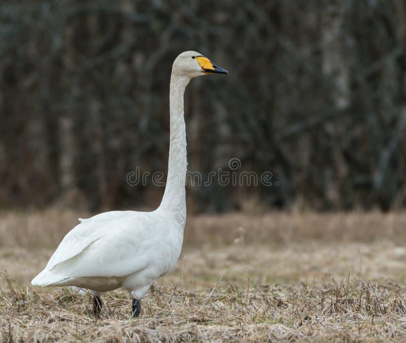 Cisne de Whooper (cygnus do Cygnus) fotografia de stock royalty free