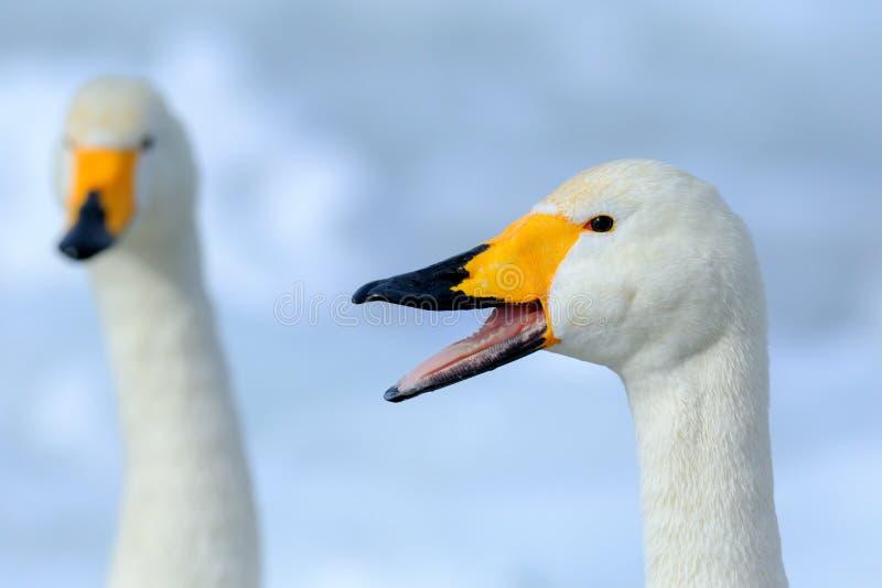 Cisne de Whooper, cygnus do Cygnus, retrato do pássaro com conta aberta, lago Kusharo, a outra cisne borrada no fundo, cena do in fotografia de stock