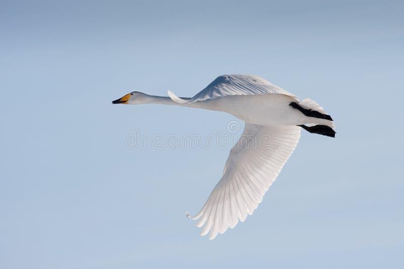 Cisne de whooper del vuelo fotografía de archivo libre de regalías
