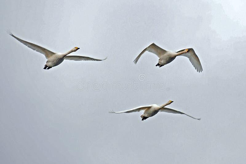 Cisne de Whooper, voo do cygnus do Cygnus no céu fotos de stock royalty free
