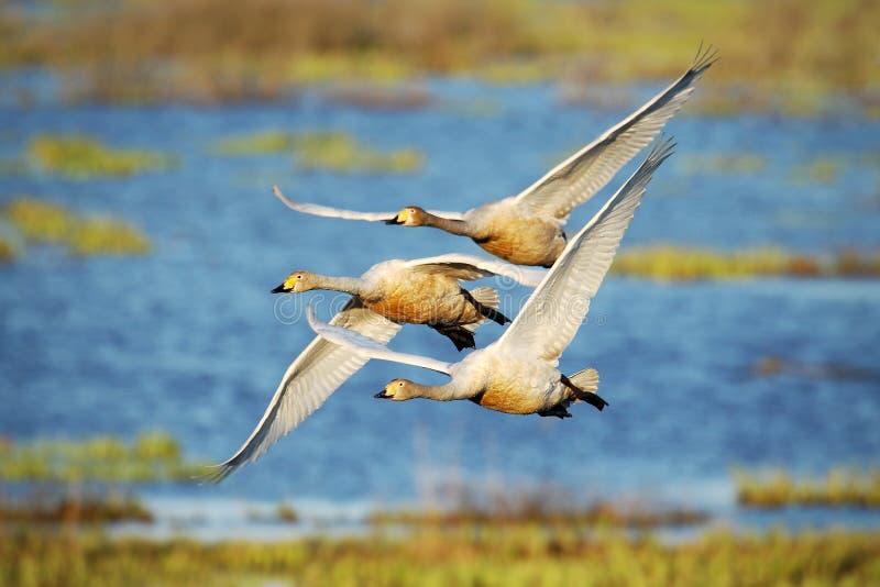 Cisne de Whooper, voo no habitat, lago Hornborga do cygnus do Cygnus, Suécia Cena dos animais selvagens de Europa Três pássaros n imagens de stock
