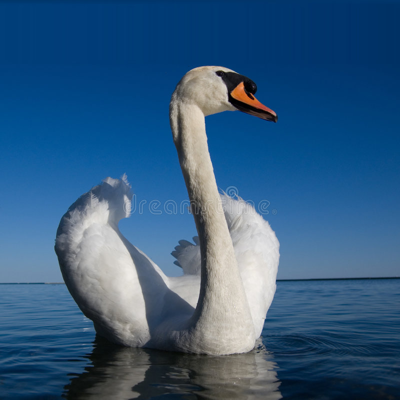 Cisne del blanco de Beautifull foto de archivo