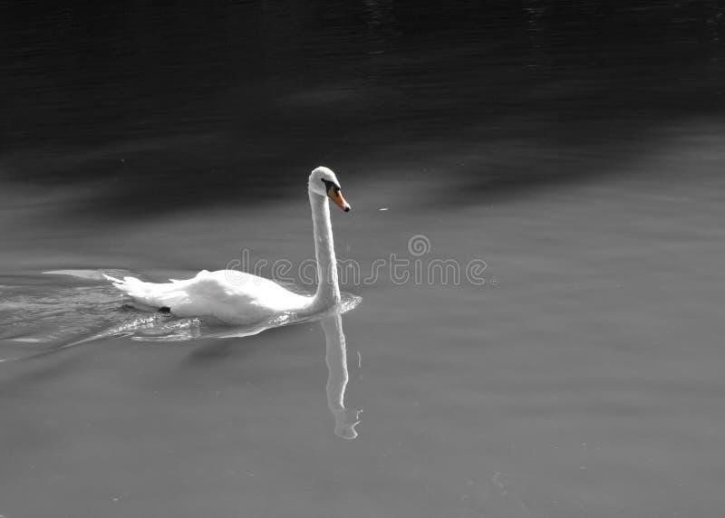 Cisne del pájaro en la natación del lago fotografía de archivo libre de regalías